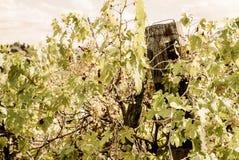 La Toscane - un vignoble de Hillside donnant sur la ville d'Asciano photo stock