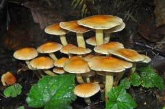 La touffe des champignons se développe sur le tronçon de l'arbre de sapin images libres de droits