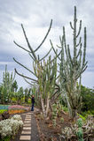 La touriste de femme se tient près du cactus géant au jardin botanique à Funchal, Madère Images libres de droits