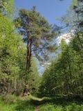 La traînée par la forêt pendant les premiers jours de l'été Photo libre de droits