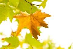 la trame décorative de fond d'automne d'isolement part du blanc d'enregistrement Photos stock