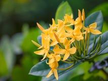 La transitoire fleurit le jaune sur le jardin images libres de droits