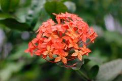 La transitoire rouge fleurit dans le jardin sur le fond vert de tache floue image libre de droits