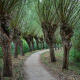 La trayectoria curvada flanqueó cerca con filas de los sauces del árbol descopado foto de archivo libre de regalías
