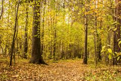 La trayectoria de bosque en el bosque del pino se cubre con las hojas de otoño Foto de archivo libre de regalías