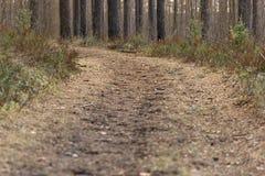 La trayectoria de bosque vacía derramada con las agujas del pino da vuelta entre los árboles de pino Fotos de archivo