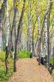 La trayectoria del bosque y de madera del abedul blanco Fotografía de archivo