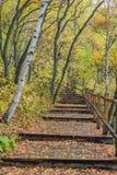 La trayectoria del bosque y de madera del abedul blanco Imagen de archivo