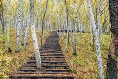 La trayectoria del bosque y de madera del abedul blanco Foto de archivo libre de regalías