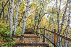 La trayectoria del bosque y de madera del abedul blanco Fotos de archivo libres de regalías
