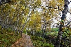 La trayectoria del bosque y de madera del abedul blanco Fotos de archivo