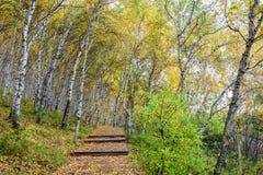 La trayectoria del bosque y de madera del abedul blanco Fotografía de archivo libre de regalías