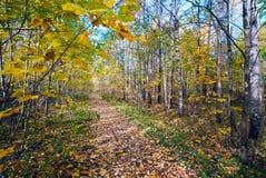 La trayectoria derramada con amarillo se va en bosque del otoño Imágenes de archivo libres de regalías