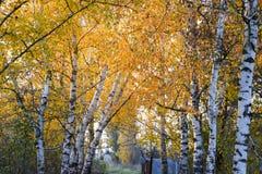 La trayectoria derramada con las hojas del amarillo del otoño de árboles Autumn Alley Fotos de archivo libres de regalías