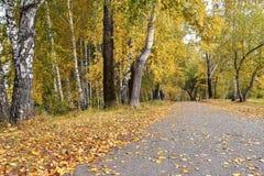 La trayectoria en arboleda del abedul con amarillo se va en día nublado del otoño Fotografía de archivo libre de regalías