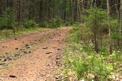 La trayectoria en el bosque spruce, cubierto con los conos spruce, entrando la distancia Imagenes de archivo