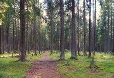 La trayectoria en el bosque spruce, yéndose en el matorral, las raíces de los árboles alcanza la trayectoria, la mañana del veran Fotografía de archivo libre de regalías