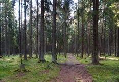 La trayectoria en el bosque spruce, yéndose en el matorral más allá de los árboles grandes, morones verdes y tocones, el sol bril Fotografía de archivo