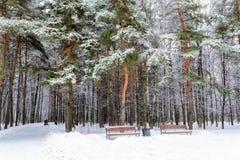 La trayectoria a través de árboles de pino y los bancos en el pino parquean Fotografía de archivo libre de regalías