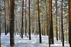 La trayectoria a través de la nieve en un bosque soleado del pino del invierno Fotografía de archivo
