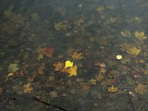 La tremula lascia il galleggiamento sull'acqua contro il contesto della s immagine stock