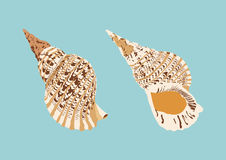 La trompette de Triton, coquillage, vecteur animal illustration de vecteur