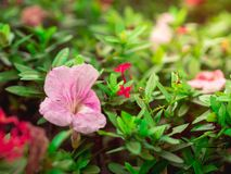 La trompette rose ou les fleurs attrayantes de rosea de Tabebuia de trompette est tombée sur l'arbre d'espèces d'Ixora photos stock