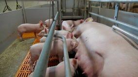 La truie allaite l'agriculture de porc intensive de porcelets banque de vidéos