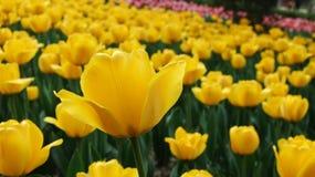 La tulipe Photos libres de droits