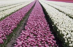 La tulipe blanche et rouge fleurit dans une rangée Image libre de droits