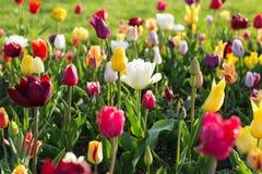 La tulipe colorée lumineuse fleurit au printemps Photos libres de droits