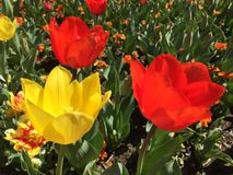 La tulipe dans le floriade 2015 Photo stock