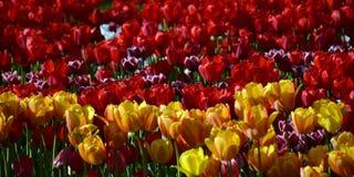 La tulipe de floraison fleurissent au parterre dans le jardin Photographie stock
