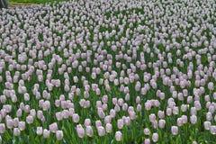 La tulipe de pupler Photos stock