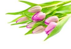 La tulipe fraîche de rose de source fleurit avec des baisses de l'eau image libre de droits