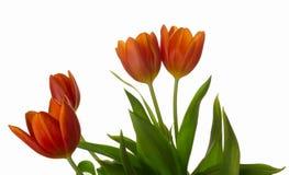 La tulipe orange et rouge fleurit le plan rapproché photographie stock libre de droits