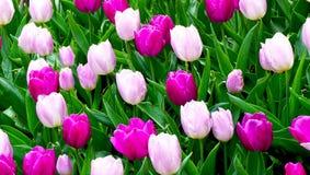 La tulipe rose et pourpre fleurit dans le jardin Photo stock