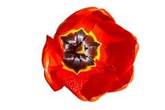 La tulipe rouge avec la pluie se laisse tomber sur le fond blanc Photo libre de droits
