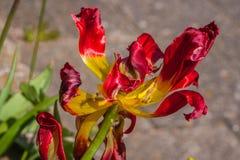 La tulipe rouge décorative harmonise le centre d'Amsterdam Image stock