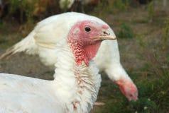 La Turchia al primo piano della testa dell'uccello di agricoltura dell'azienda agricola Fotografia Stock