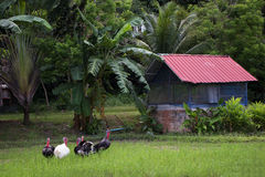 La Turchia o pollo nel giacimento del riso e nel fondo di agricoltura Fotografia Stock Libera da Diritti