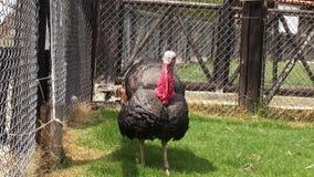 La Turchia, ringraziamento, pollame, uccelli del gioco, animali archivi video
