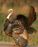 La Turchia selvaggia 7 Immagine Stock