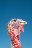 La Turchia su un'azienda agricola Fotografia Stock Libera da Diritti