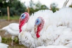 La Turchia su un'azienda agricola, tacchini crescere Fotografia Stock