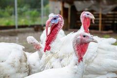 La Turchia su un'azienda agricola, tacchini crescere Ritratto bianco della Turchia Immagine Stock Libera da Diritti