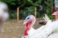 La Turchia su un'azienda agricola, tacchini crescere Ritratto bianco della Turchia Immagine Stock