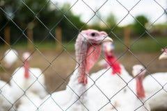 La Turchia su un'azienda agricola, tacchini crescere Ritratto bianco della Turchia Fotografia Stock