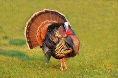 La Turchia Tom che strutting la sua materia Fotografia Stock