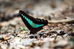 La turquesa se va volando la mariposa Foto de archivo libre de regalías